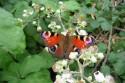 Rete Natura 2000 | Inachis io Linneo