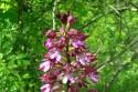 Rete Natura 2000 | Orchis Purpurea